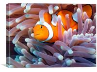 Clownfish in Reef, Canvas Print