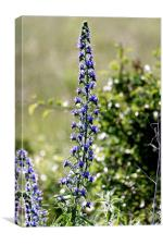 Blue tower flower in the early morning light, Canvas Print