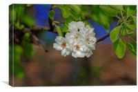 Blossom cherry in its own shadow, Canvas Print