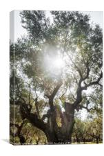 Sun Soaked Giant Olive Tree, Canvas Print