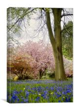 Bluebells and Blossom, Canvas Print