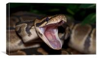 Hungry Boa Constrictor, Canvas Print