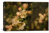 Old fashioned Apple Blossom , Canvas Print