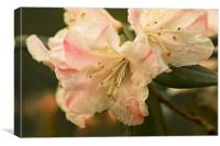 Rhododendron Flower Close Up, Canvas Print
