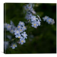 Blue Forget Me Not, Canvas Print