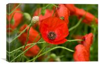 Wild Red Poppies, Canvas Print