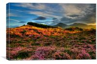 Blooming heather in the Mournes, Canvas Print