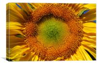 Sunflower closeup , Canvas Print