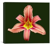 Red Lily, Canvas Print