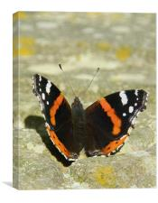 Butterfly getting a tan, Canvas Print