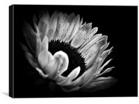Sunflower Droplets In BW, Canvas Print