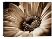 Soft Sepia Gerbera, Canvas Print
