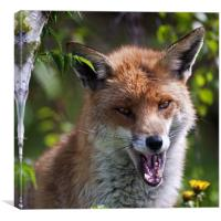Red Fox, Canvas Print