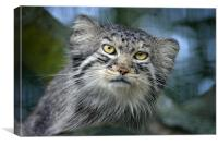 Tula the Pallas Cat, Canvas Print