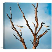 Two Herons in a tree, Canvas Print