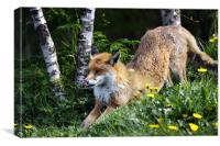 Fox stretching front legs, Canvas Print