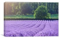Rows of Lavender, Canvas Print