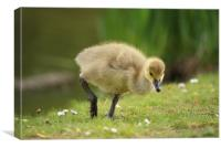 Young Canadian Gosling 2, Canvas Print