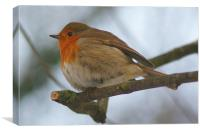 Cheeky Puffy Robin On Branch, Canvas Print