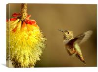 Flight of the Hummer! , Canvas Print