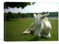 New Forest Donkey, Canvas Print