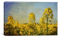 Rapeseed Flowers., Canvas Print