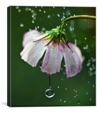 Cosmos flower with water droplets, Canvas Print