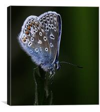 The Common Blue, Canvas Print