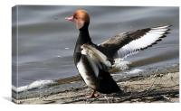 The Red Crested Pochard, Canvas Print