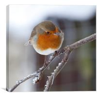 Robin redbreast on frosted branch, Canvas Print