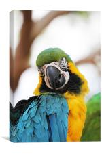 Blue and Yellow Macaw, Canvas Print