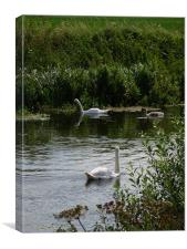 Family of Swans, Canvas Print