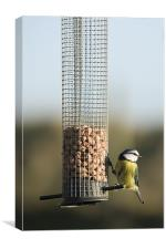 Blue tit eating seeds in Wexford Wildfowl Reserve, Canvas Print