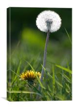 The Life of Dandelions, Canvas Print
