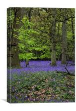 bluebell forest,england, Canvas Print