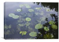 Yellow Water-lily (Nuphar lutea). Norfolk, UK, Canvas Print