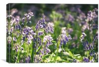 Detail of early morning light on wild Bluebells., Canvas Print