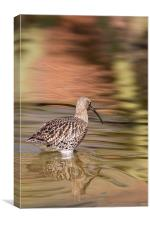 Wading - Curlew, Canvas Print