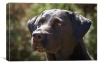 Focused Black Labrador, Canvas Print