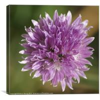 Chive Flower, Canvas Print
