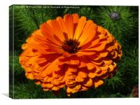 English Marigold, Canvas Print