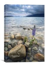 Lone Lupine, Canvas Print