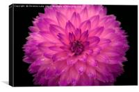 Frilly In Pink, Canvas Print