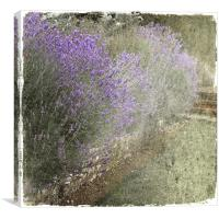 Summer Lavender, Canvas Print