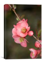 Quince, Canvas Print