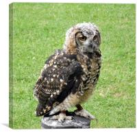 Young Eagle Owl, Canvas Print