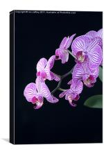 Orchid Blossoms, Canvas Print
