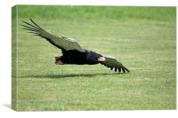 Bateleur Eagle, Canvas Print