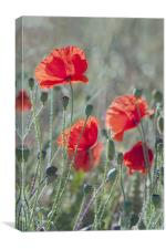 Poppies in a Field, Canvas Print
