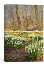 Clusters of snowdrops, Canvas Print